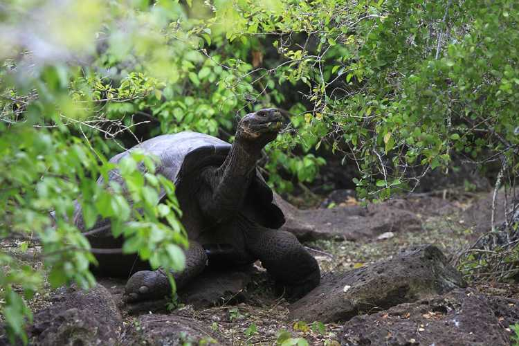 tortugas gigantes islas galapagos