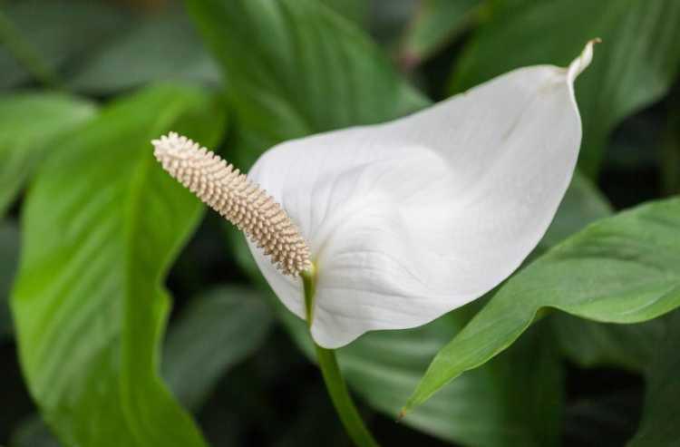 flor de la paz